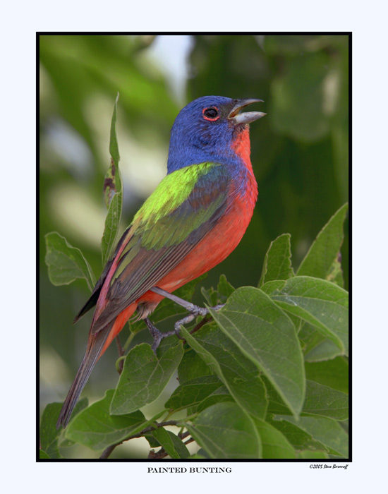 2735 painted bunting c11x14 - ~! Colourful birds !~