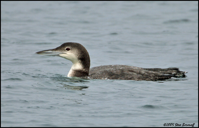 common loon images. Common Loon
