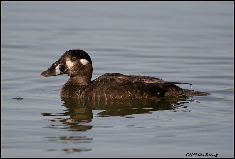 Go Back > Gallery For > White Winged Scoter Hen