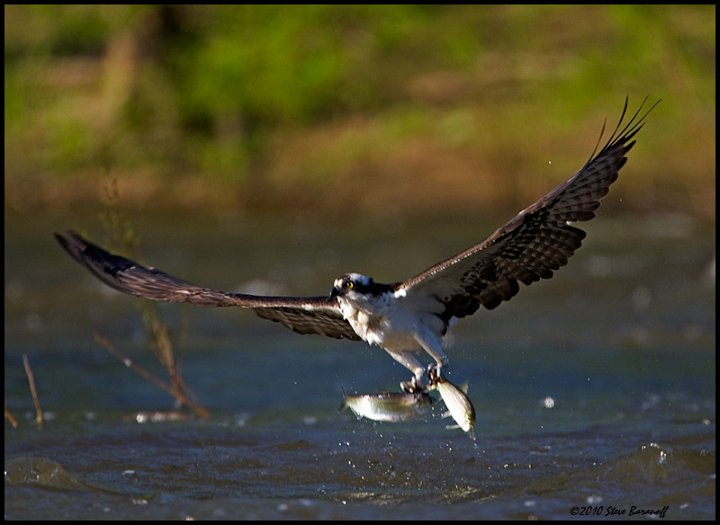 Recent images 2010 0sb7621 osprey catching fish for Osprey catching fish