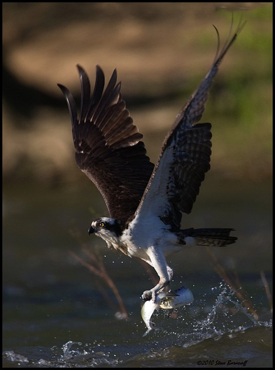 Recent images 2010 0sb7623 osprey catching fish for Osprey catching fish