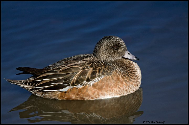 Wigeon duck hen - photo#22