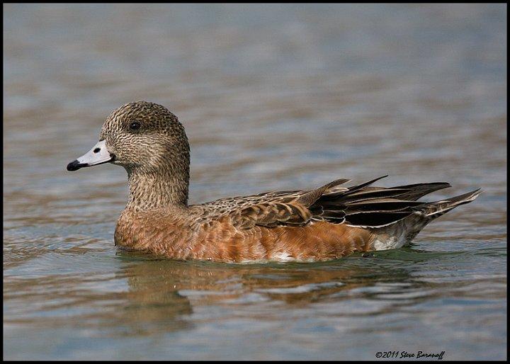 Wigeon duck hen - photo#2