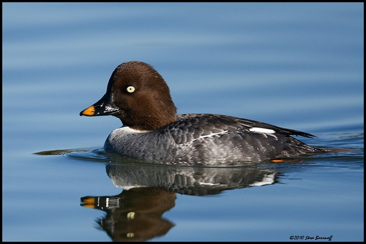 0SB1376 common goldeneye hen jpgHen Goldeneye